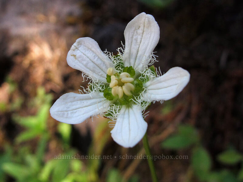 fringed grass-of-parnassus (Parnassia fimbriata) [Rachel Lake Trail, Alpine Lakes Wilderness, Washington]