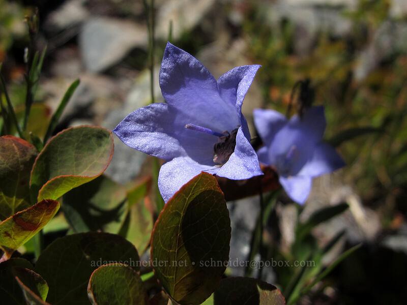 harebells (Campanula rotundifolia) [Alta Mountain, Alpine Lakes Wilderness, Washington]