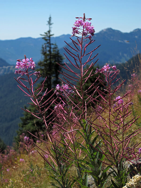 fireweed (Chamerion angustifolium (Epilobium angustifolium)) [Rampart Ridge, Alpine Lakes Wilderness, Washington]