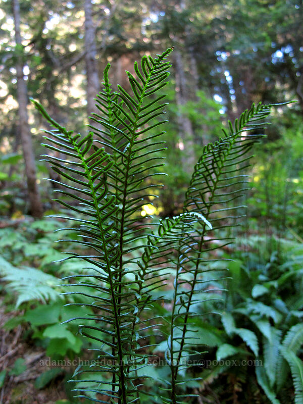 deer fern fronds (Blechnum spicant) [Rachel Lake Trail, Alpine Lakes Wilderness, Washington]