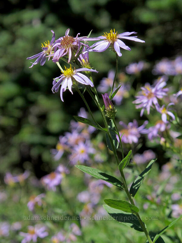 Cascade asters (Eucephalus engelmannii) [Goat Ridge Trail, Goat Rocks Wilderness, Washington]