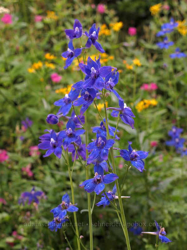larkspur (Delphinium nuttallianum) [Goat Ridge Trail, Goat Rocks Wilderness, Washington]