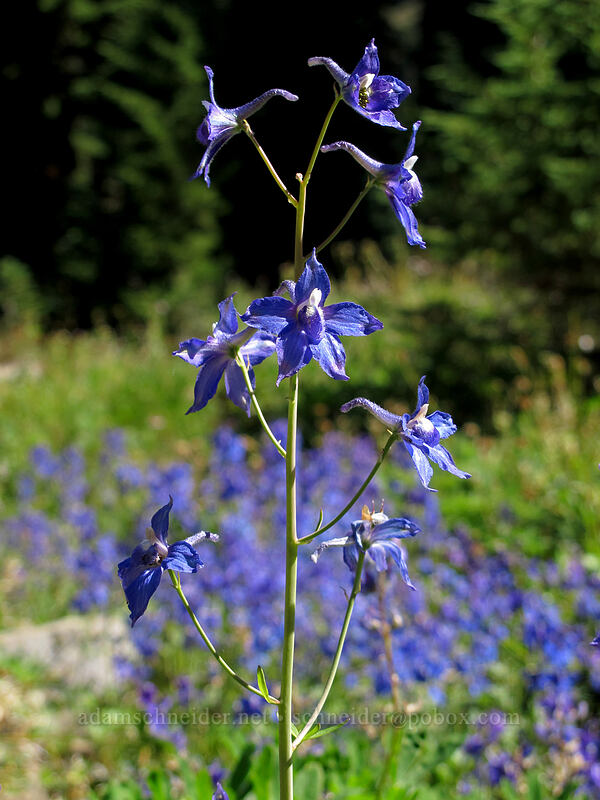 larkspur (Delphinium nuttallianum) [Goat Ridge Trail, Goat Rocks Wilderness, Washington]