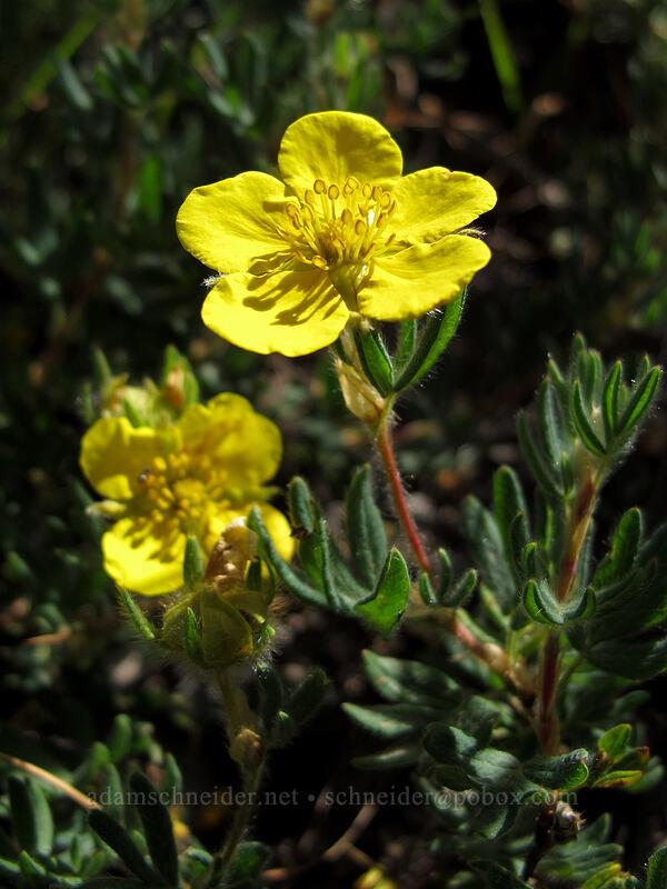 shrubby cinquefoil (Potentilla fruticosa) [Goat Ridge Trail, Goat Rocks Wilderness, Washington]