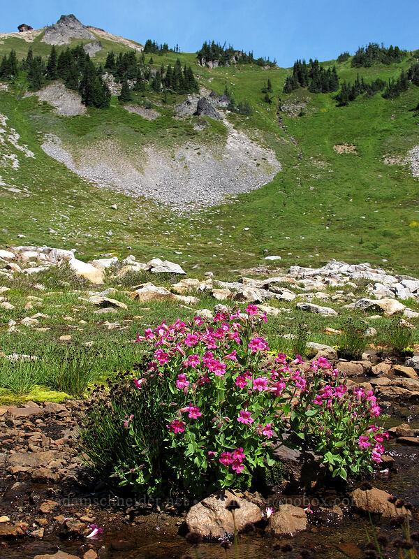 Lewis' monkeyflower (Erythranthe lewisii (Mimulus lewisii)) [Jordan Basin, Goat Rocks Wilderness, Washington]