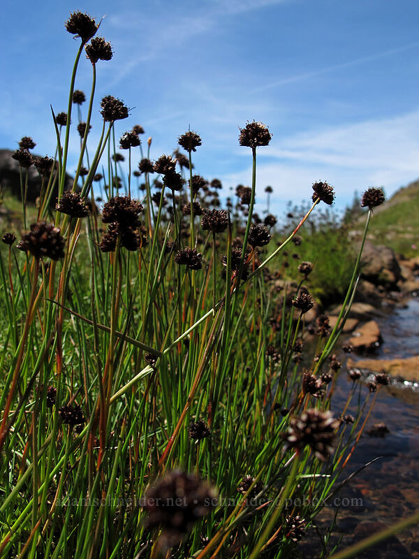 Mertens' rushes (Juncus mertensianus) [Jordan Basin, Goat Rocks Wilderness, Washington]