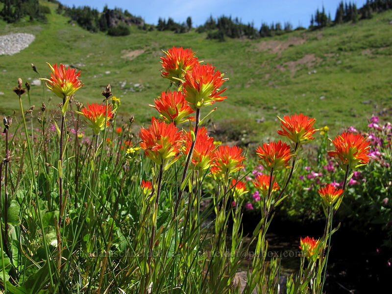 paintbrush & Lewis' monkeyflower (Castilleja miniata, Erythranthe lewisii (Mimulus lewisii)) [Jordan Basin, Goat Rocks Wilderness, Washington]
