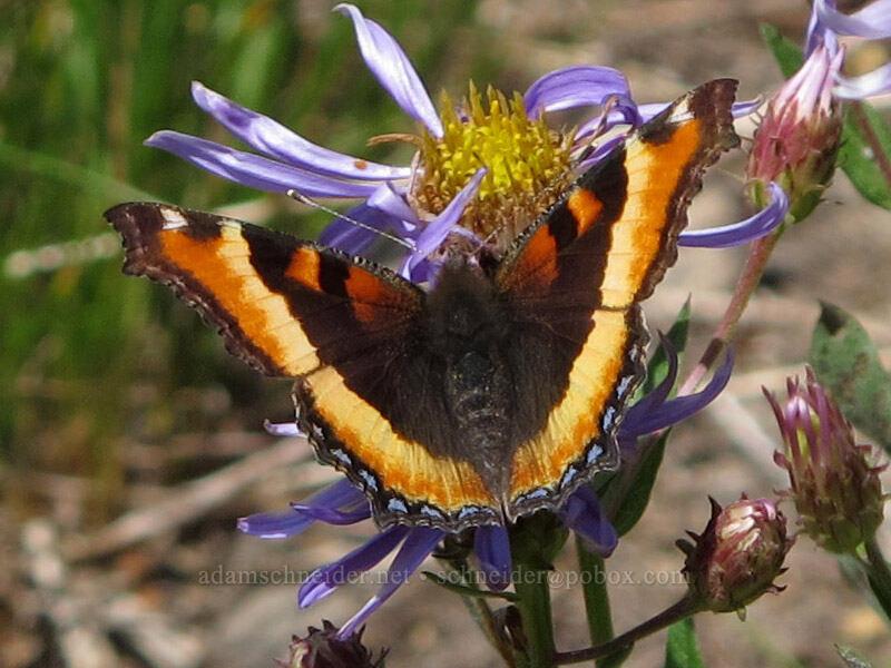 Milbert's tortoiseshell butterfly (Aglais milberti (Nymphalis milberti)) [Lily Basin Trail, Goat Rocks Wilderness, Washington]