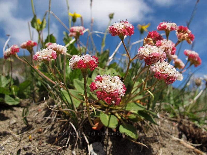 alpine buckwheat (Eriogonum pyrolifolium var. coryphaeum) [Lily Basin Trail, Goat Rocks Wilderness, Washington]