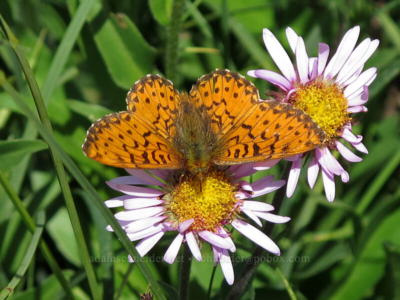 arctic fritillary butterfly (Boloria chariclea) [Lily Basin Trail, Goat Rocks Wilderness, Washington]
