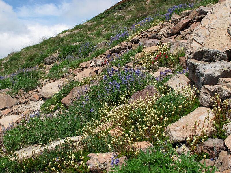 partridgefoot, lupines, & paintbrush (Lupinus sp., Luetkea pectinata, Castilleja parviflora var. oreopola) [Hawkeye Point Trail, Goat Rocks Wilderness, Washington]