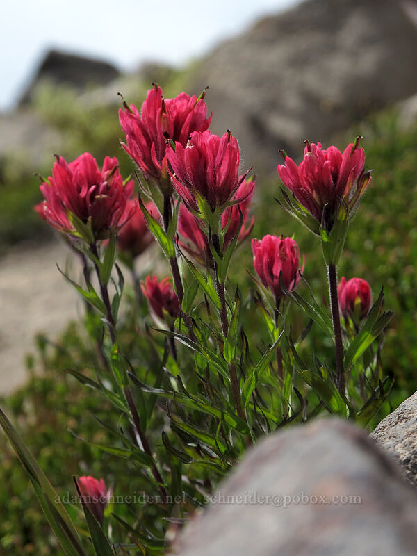 magenta paintbrush (Castilleja parviflora var. oreopola) [Hawkeye Point Trail, Goat Rocks Wilderness, Washington]