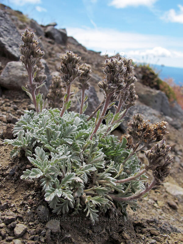 silky phacelia (Phacelia sericea) [Hawkeye Point Trail, Goat Rocks Wilderness, Washington]