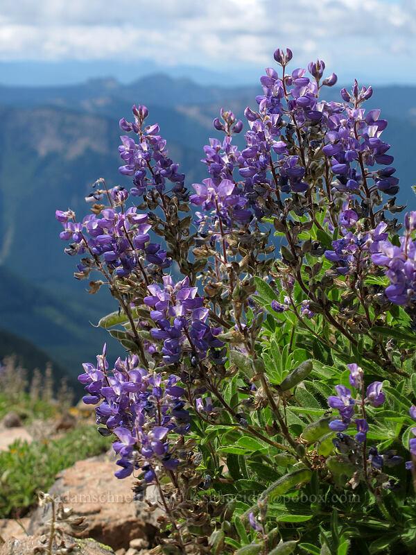 lupines (Lupinus sp.) [Hawkeye Point Trail, Goat Rocks Wilderness, Washington]