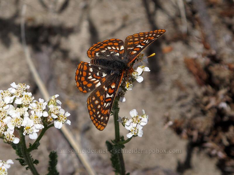 Edith's checkerspot butterfly on yarrow (Euphydryas editha, Achillea millefolium) [Hawkeye Point Trail, Goat Rocks Wilderness, Washington]