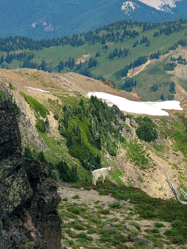 mountain goat (Oreamnos americanus) [Hawkeye Point, Goat Rocks Wilderness, Washington]