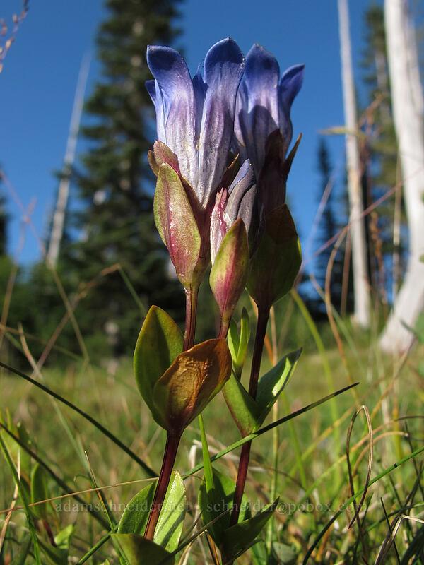 explorer's gentian (Gentiana calycosa) [Snow Lake Trail, Mt. Rainier National Park, Washington]