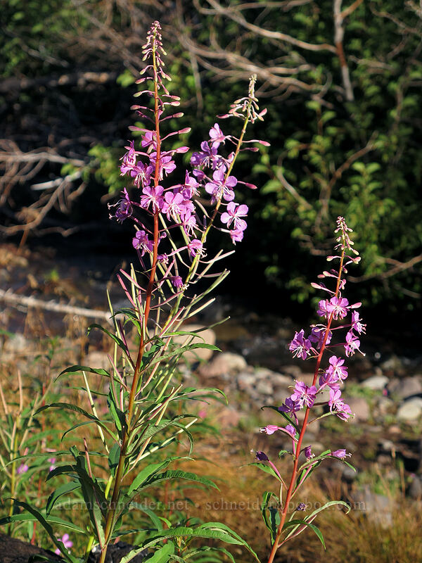 fireweed (Chamerion angustifolium (Epilobium angustifolium)) [Green Lakes Trail, Three Sisters Wilderness, Oregon]