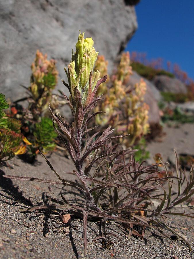 hairy paintbrush (Castilleja pilosa) [Middle Sister climber's trail, Three Sisters Wilderness, Oregon]