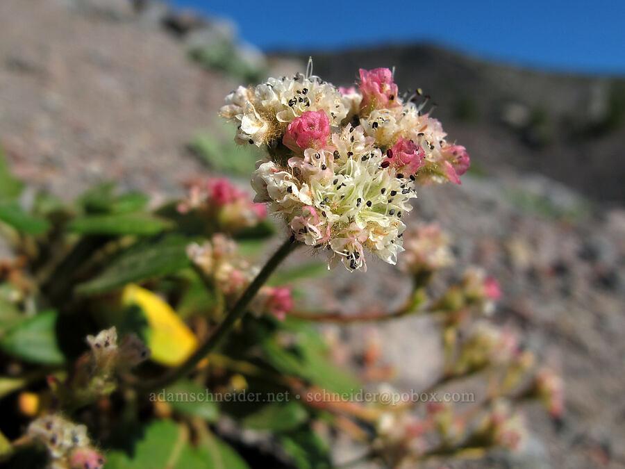 alpine buckwheat (Eriogonum pyrolifolium) [Middle Sister climber's trail, Three Sisters Wilderness, Oregon]
