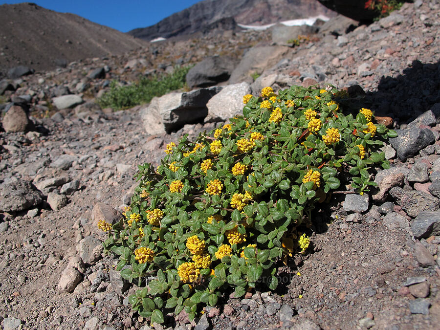 buckwheat (Eriogonum sp.) [Middle Sister climber's trail, Three Sisters Wilderness, Oregon]
