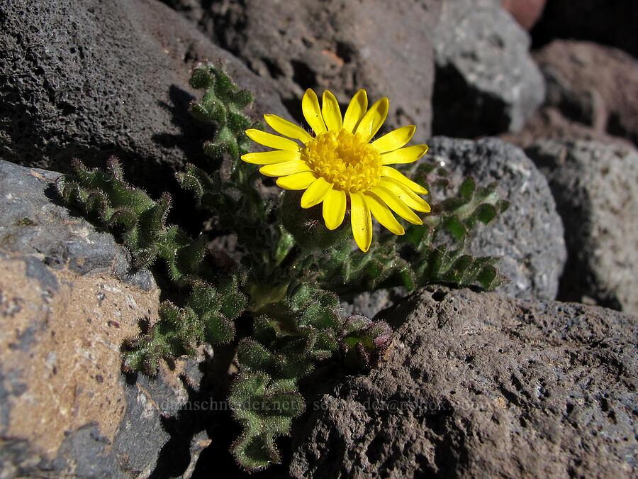 dwarf alpine-gold (Hulsea nana) [Middle Sister climber's trail, Three Sisters Wilderness, Oregon]
