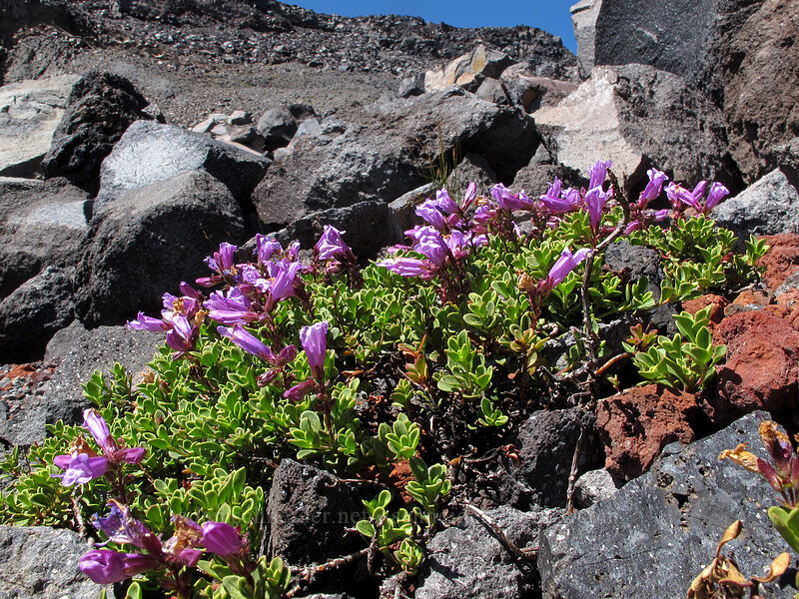 Davidson's penstemon (Penstemon davidsonii) [north of Hayden Glacier, Three Sisters Wilderness, Oregon]