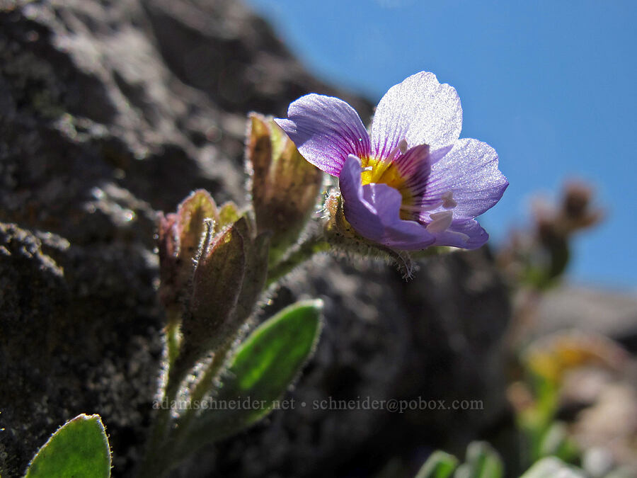 elegant Jacob's-ladder (Polemonium elegans) [Middle Sister summit, Three Sisters Wilderness, Oregon]