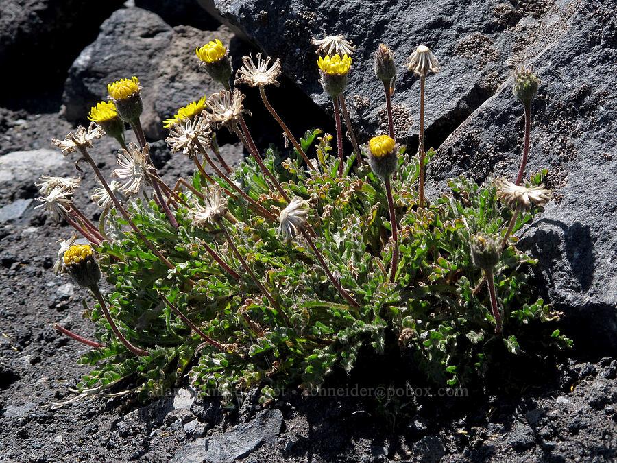 dwarf alpine-gold (Hulsea nana) [Middle Sister, Three Sisters Wilderness, Oregon]