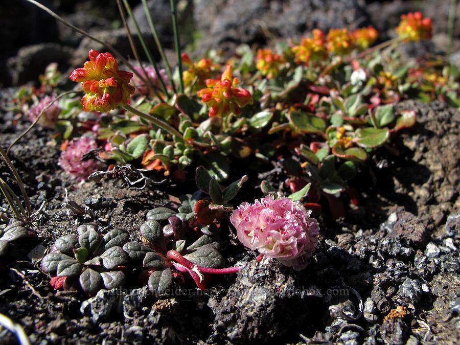 pussypaws & marum-leaf buckwheat (Calyptridium sp. (Cistanthe sp.), Eriogonum marifolium) [south of Diller Glacier, Three Sisters Wilderness, Oregon]