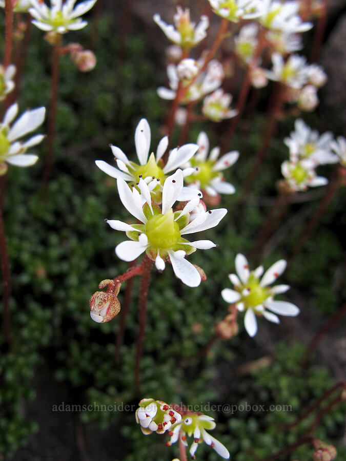 Tolmie's saxifrage (Saxifraga tolmiei) [southeast of Middle Sister, Three Sisters Wilderness, Oregon]