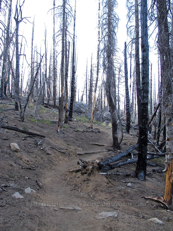 trail through fire damage [Camp Lake Trail, Three Sisters Wilderness, Oregon]