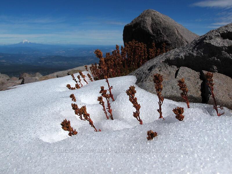 partridgefoot seeds & snow (Luetkea pectinata) [Langille Crags, Mt. Hood Wilderness, Oregon]