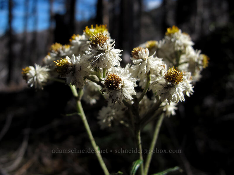 pearly everlasting (Anaphalis margaritacea) [Timberline Trail, Mt. Hood Wilderness, Oregon]