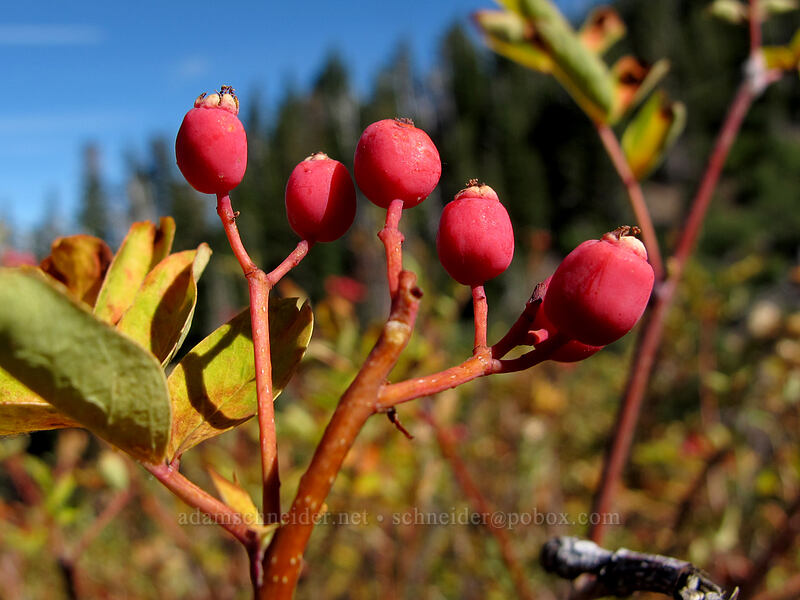 Sitka mountain-ash berries (Sorbus sitchensis) [Timberline Trail, Mt. Hood Wilderness, Oregon]
