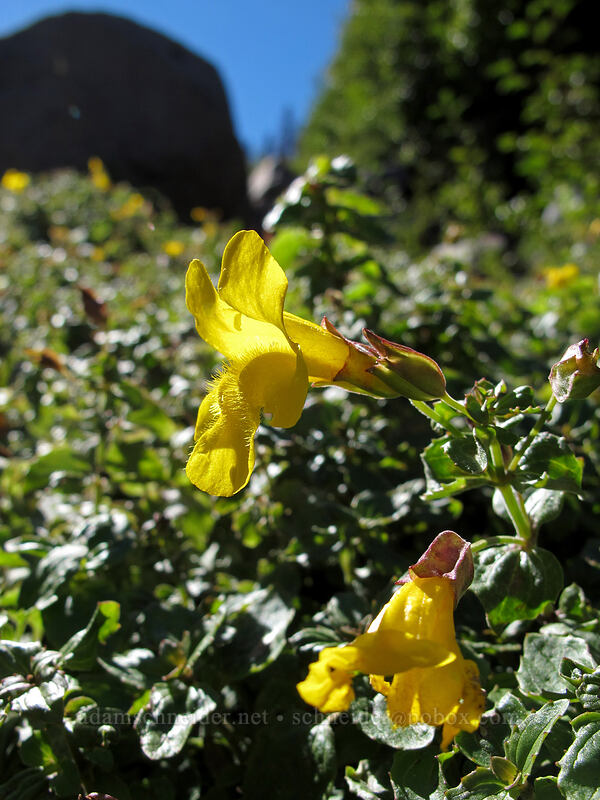monkeyflower (Erythranthe guttata (Mimulus guttatus)) [Timberline Trail, Mt. Hood Wilderness, Oregon]