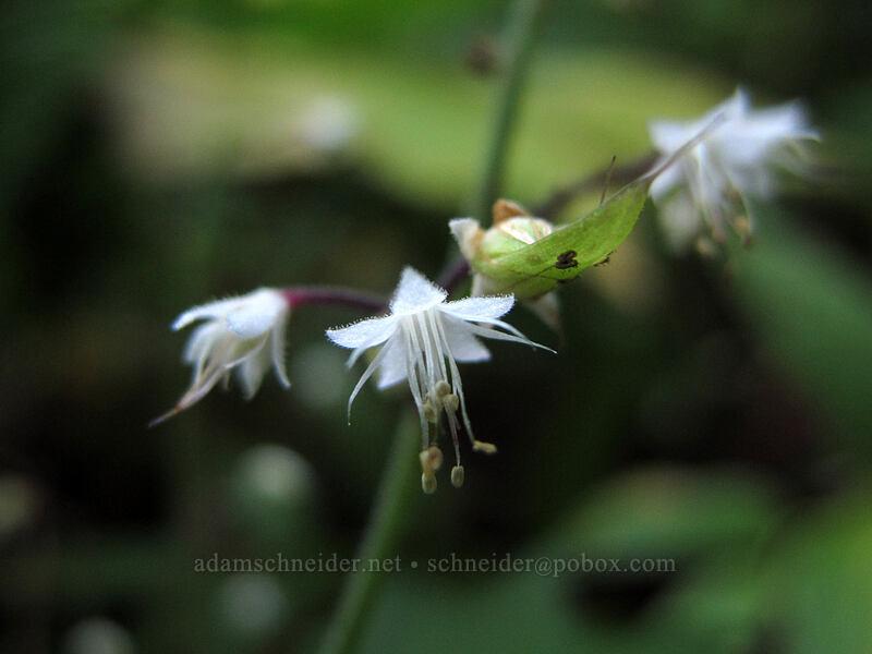 foamflower (Tiarella trifoliata) [Surprise Creek Trail, Mt. Baker-Snoqualmie National Forest, Washington]