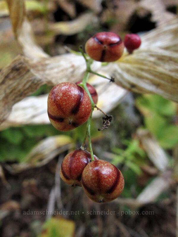 false solomon's-seal berries (Maianthemum stellatum (Smilacina stellata)) [Surprise Creek Trail, Alpine Lakes Wilderness, Washington]