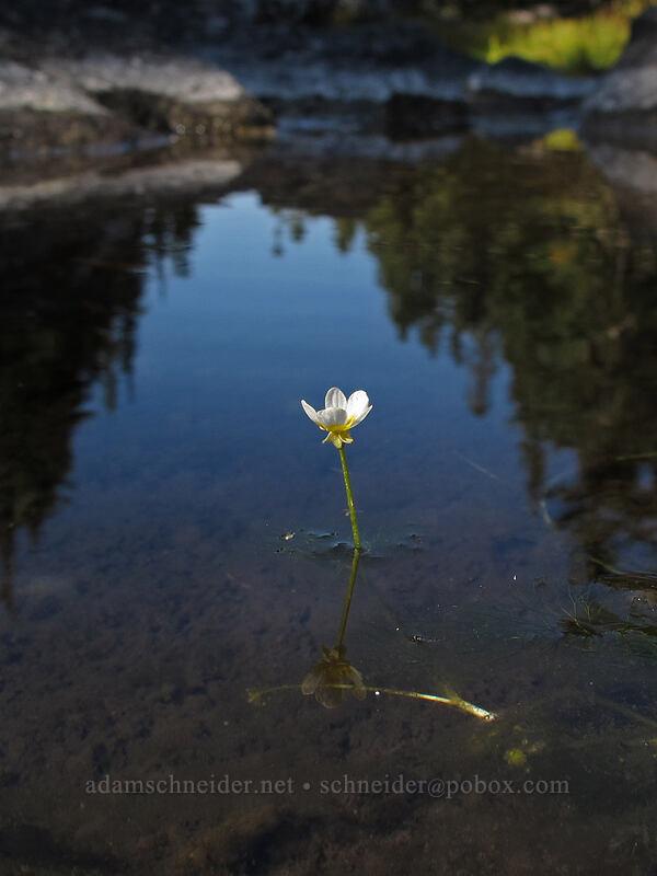 white water buttercup (Ranunculus aquatilis var. diffusus) [Surprise Creek Trail, Alpine Lakes Wilderness, Washington]
