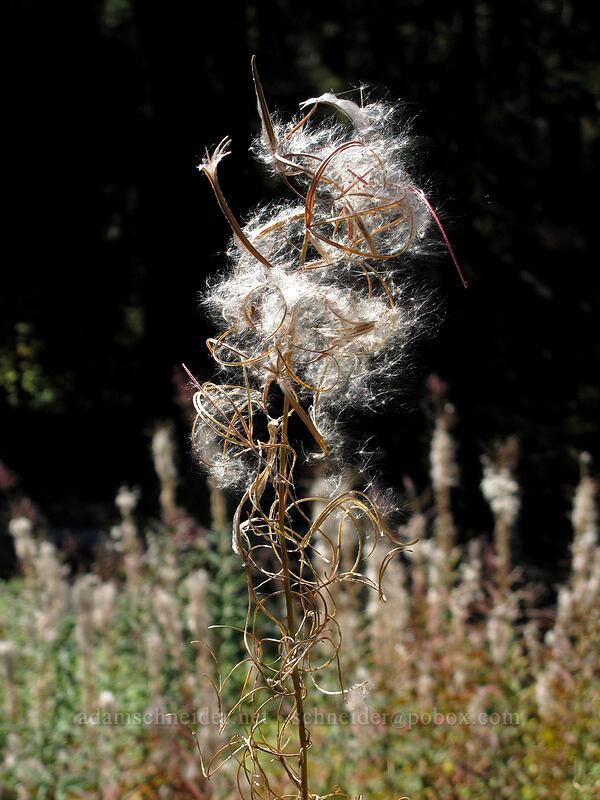 fireweed seeds (Chamerion angustifolium (Epilobium angustifolium)) [Surprise Creek Trail, Alpine Lakes Wilderness, Washington]