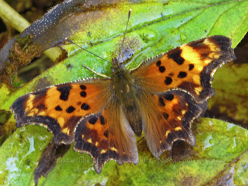 green comma butterfly (Polygonia faunus) [Surprise Creek Trail, Alpine Lakes Wilderness, Washington]