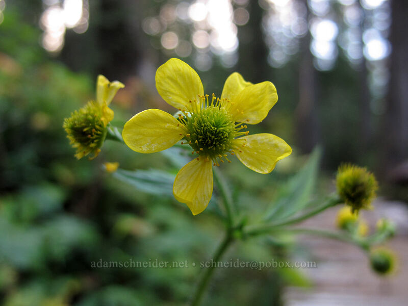 large-leaf avens (Geum macrophyllum) [Surprise Creek Trail, Mt. Baker-Snoqualmie National Forest, Washington]