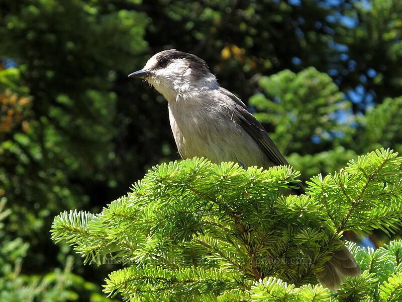 gray jay (Perisoreus canadensis) [Lake Valhalla, Henry M. Jackson Wilderness, Washington]