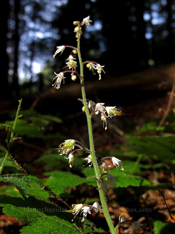 foamflower (Tiarella trifoliata var. unifoliata) [Pacific Crest Trail, Mt. Hood National Forest, Oregon]