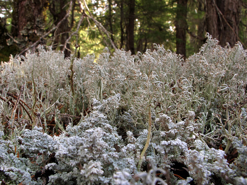 miniature forest of lichen [Ramona Falls Trail, Mt. Hood National Forest, Oregon]
