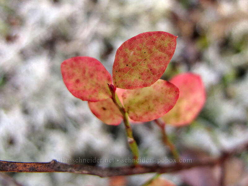 huckleberry leaves (Vaccinium sp.) [Ramona Falls Trail, Mt. Hood National Forest, Oregon]
