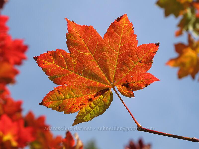 vine maple leaf (Acer circinatum) [Ramona Falls Trail, Mt. Hood Wilderness, Oregon]