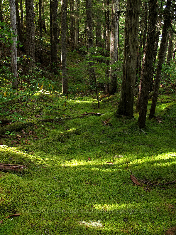 mossy glade [Sandy River Valley, Mt. Hood Wilderness, Oregon]