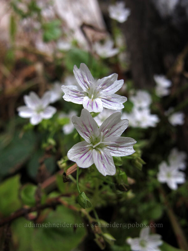 candyflower (Claytonia sibirica) [Pacific Crest Trail, Mt. Hood Wilderness, Oregon]