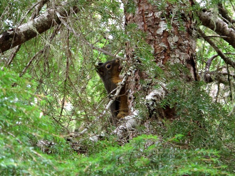 Douglas squirrel (Tamiasciurus douglasii) [Pacific Crest Trail, Mt. Hood Wilderness, Oregon]